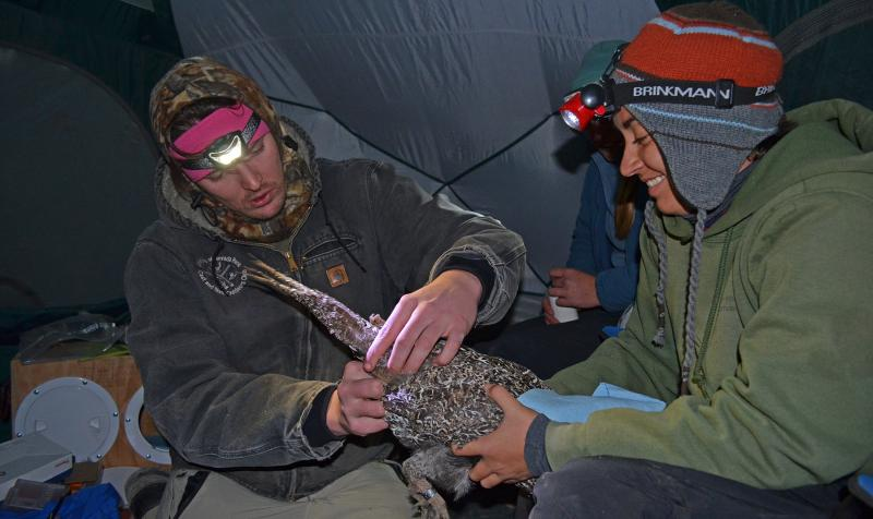 Steven Mathews (left), a USGS Pathways Program intern, extracts sperm from a male bi-state greater sage-grouse while USGS biological science technician Juliana Masseloux keeps the bird calm. The collected fluid was used for artificially inseminating female sage-grouse in hopes of increasing nesting rates after their release during the Parker Meadows translocation project. Credit: Dan Hottle/USFWS