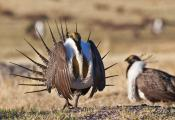 Male sage-grouse strut while on a lek
