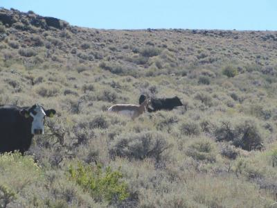 Cattle & Pronghorn in Lek
